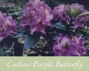 Cocheco-Purple-Butterfly